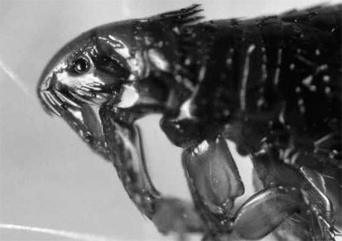 Так выглядит блоха при сильном увеличении под микроскопом