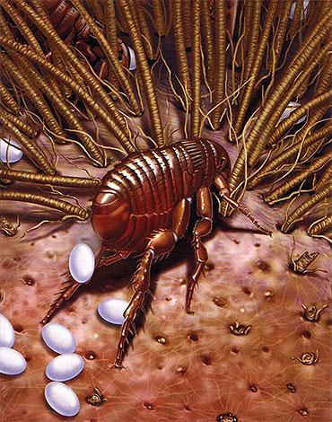 В течение своей жизни самка блохи может откладывать до 500 яиц.
