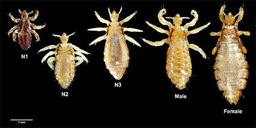 На фото представлены вши разных размеров: от личинок, до взрослых особей