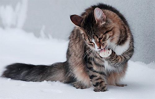 После нанесения на тело кота спрея от блох несколько часов нельзя разрешать животному вылизываться