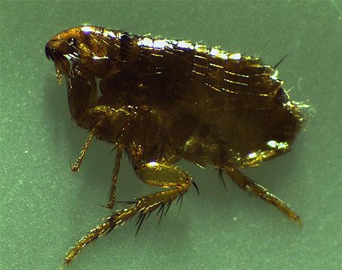 Фото кошачьей блохи под микроскопом