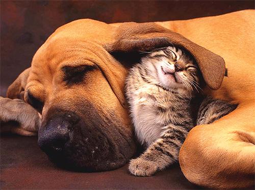 Начинать борьбу с блохами в доме нужно с обработки всех домашних животных