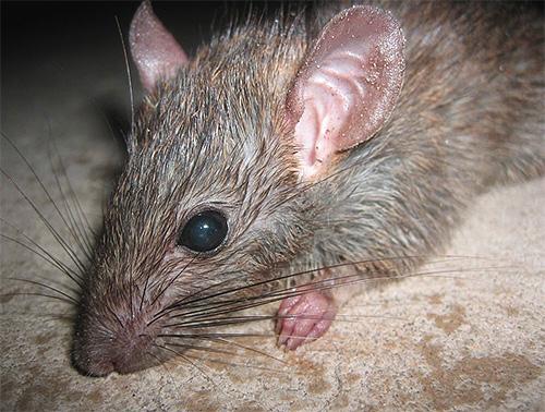 В больших количествах блохи могут обитать в подвалах, паразитируя там, например, на крысах.