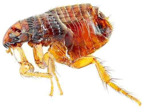 Инсектициды в каплях Блохнэт вызывают быстрый паралич и гибель блох