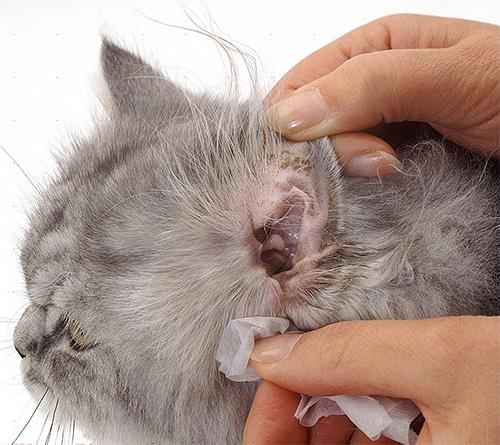 Блохнэт также можно использовать для лечения ушной чесотки у животных.