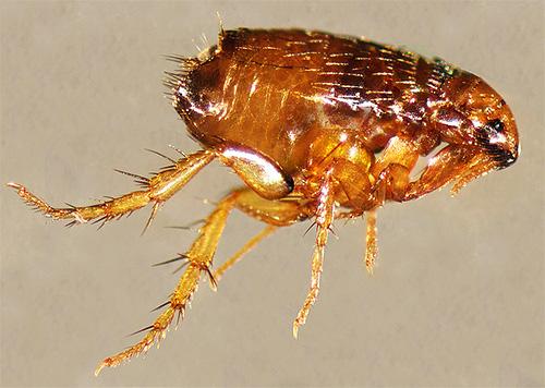 Сочетание сразу нескольких инсектицидов в средствах Блохнэт позволяет не только уничтожать существующих, но и отпугивать новых паразитов