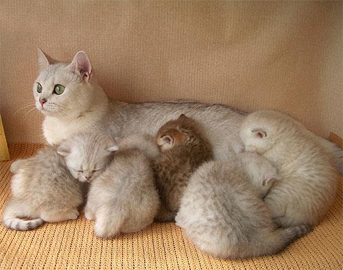 Не рекомендуется лечить котенка от блох до отлучения его от матери.