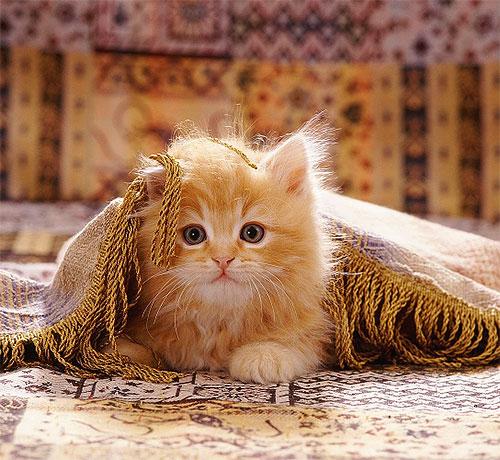 Постоянные укусы делают поведение котенка беспокойным, он часто чешется и кусает свою шерсть