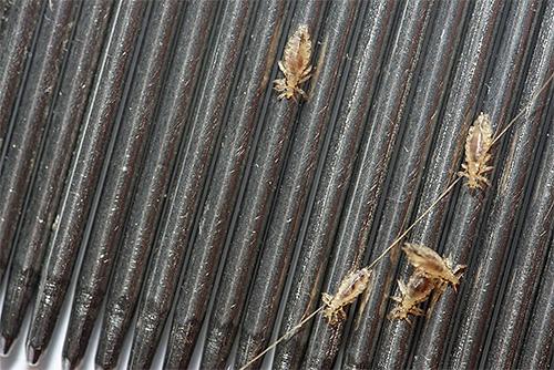 Гребни для вычесывания вшей - одно из наиболее эффективных и безопасных средств для выведения паразитов в домашних условиях