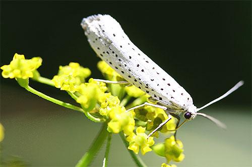 Бабочка горноставевой черемуховой моли на цветке