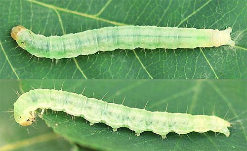 А на этой фотографии показана личинка моли Pandemis corylana
