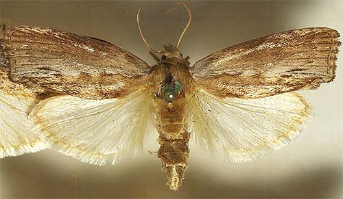 На фото показана бабочка восковой моли