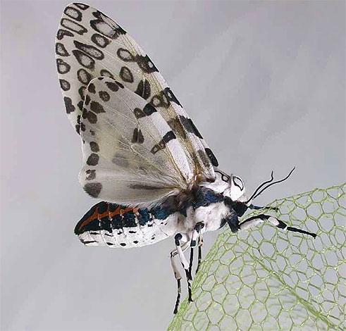 Леопардовая моль с развернутыми крыльями