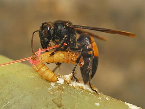 Пойманных насекомых шершни скармливают своим личинкам