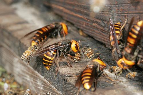 В разграбленном улье медоносных пчел шершни находят вдоволь пищи как для себя, так и для своих личинок