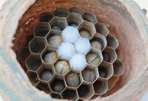 Внутри гнезда шершней существуют соты и камеры, в которых живут и развиваются личинки