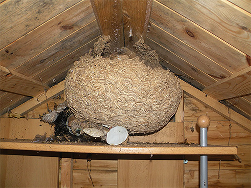 В начале осени гнездо шершней уже может достигать 1 метра в диаметре