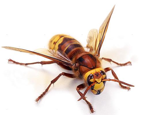 Трудно назвать шершня чрезмерно агрессивным насекомым, но и соседство с ним приятным не назовешь