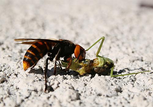 Шершни - это хищники, основой рациона которых являются другие насекомые