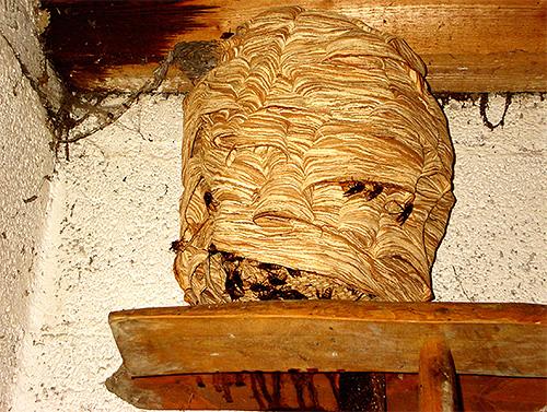 Шершни строят гнезда и живут в них целыми семьями