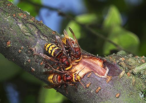 Для строительства гнезда шершни используют пережеванную кору деревьев