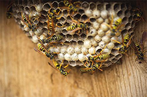 На фотографии показано гнездо обычных бумажных ос