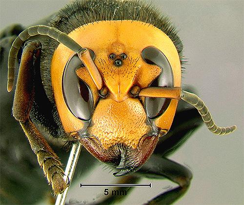 Интересной особенностью гигантского азиатского шершня являются три дополнительных глаза на голове