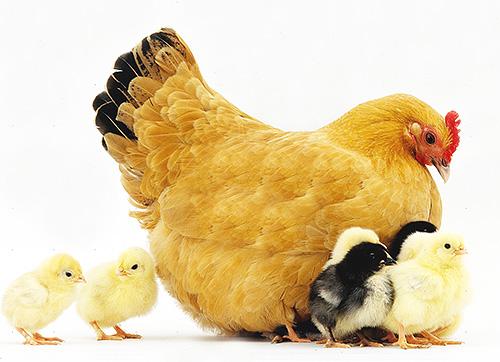 Клопы способны прокусывать кожу домашней птицы и особенно часто паразитируют на курах