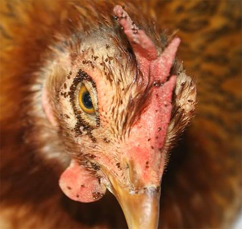 Куриных блох, кусающих птиц, некоторые могут принять за клопов