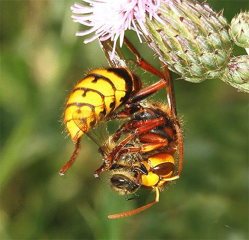 Чаще всего шершни предпочитают нападать на отдельных пчел и не трогают улей