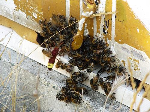 Пчелам весьма сложно пробить твердый хитиновый покров шершня, поэтому он для них почти неуязвим