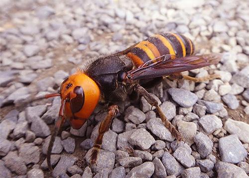 На фотографии показан Гигантский азиатский шершень, настоящий убийца пчел