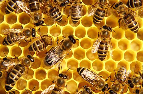 Европейские пчелы собирают больше меда, чем азиатские