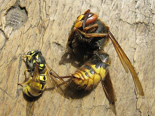 Оса так же беззащитна перед шершнем, как и пчела