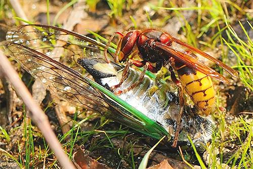 Шершни часто убивают других насекомых, это связано с необходимостью кормить свое потомство