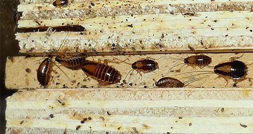 Тараканы в квартире менее устойчивы к колебаниям температур, чем клопы.