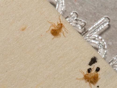 На фото показаны личинки постельного клопа, внешне очень похожие на личинок таракана