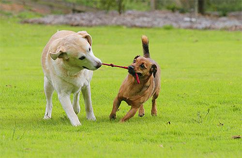 Собаки часто заражаются паразитами при тесном контакте с другим животным