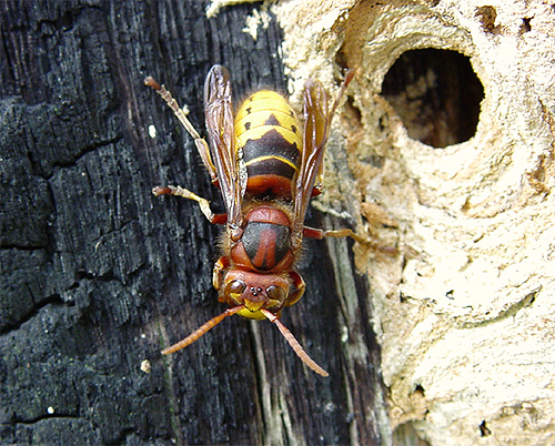Укус европейского шершня можно сравнить с укусом обычной пчелы или осы