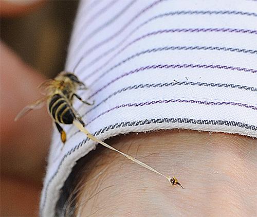 В отличие от шершня, пчелиное жало отрывается вместе с частью ее внутренних органов