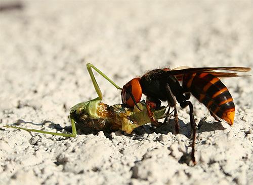 Своими челюстями шершни способны убивать других насекомых, даже не прибегая к использованию жала