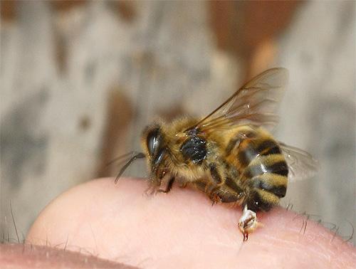 Жало пчелы устроено несколько иначе, чем у шершня.