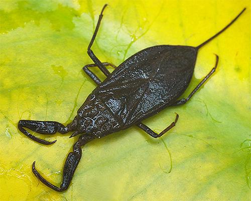 Клоп из семейства водяных скорпионов может укусить весьма болезненно.
