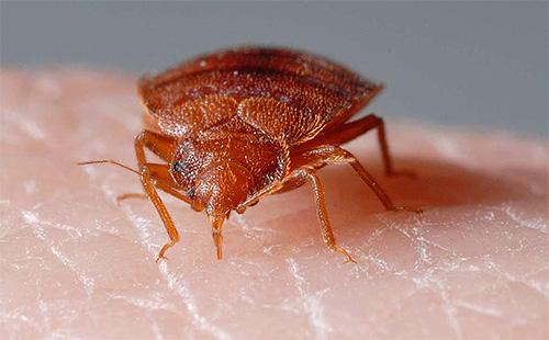 В процессе укуса клоп впрыскивает в кожу особый фермент, не дающий крови быстро сворачиваться.