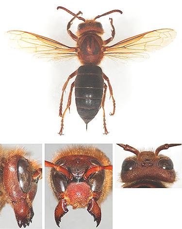 Крылья черного шершня имеют более выраженную коричневую окраску в сравнении с европейским сородичем