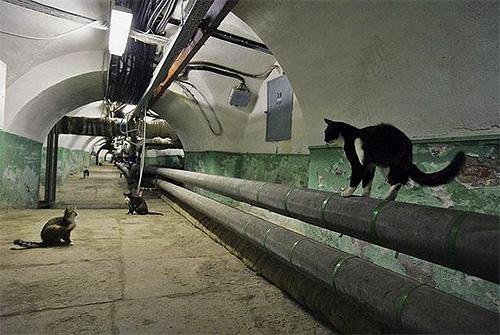 Для уничтожения блох в подвалах, откуда они могут проникать в дом, лучше всего воспользоваться услугами СЭС