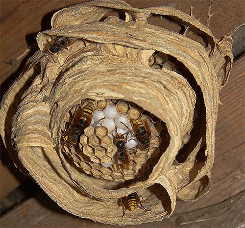 Если гнездо шершней находится под потолком, можно уничтожить насекомых с помощью обычного ведра с водой.