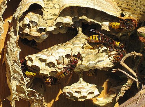 Когда взрослые насекомые погибли, гнездо шершней просто срезают и уничтожают личинок.