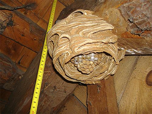 Если шершни обосновали свое гнездо в хозяйственной постройке, приближаться к нему следует с особой осторожностью