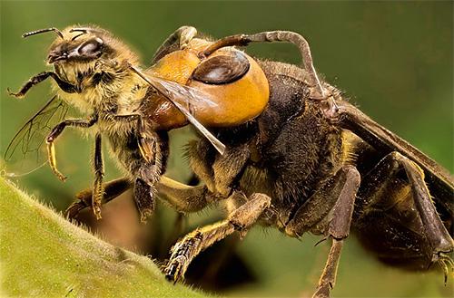 Пасечникам приходится часто вести борьбу с шершнями, ведь эти хищные насекомые несут прямую угрозу пчелам.